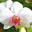 Conservatory of Flowers Orchid Screensaver
