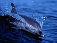 Free Living Dolphins Screensaver 1.0 screenshot. Click to enlarge!