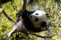 Giant Panda Screensaver 1.0 screenshot. Click to enlarge!